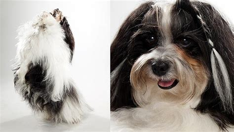 havanese animal planet havanese dogs photos breeds picture