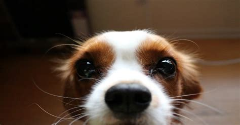 what do dogs whiskers do why does my do that a closer look at canine quirks certapet