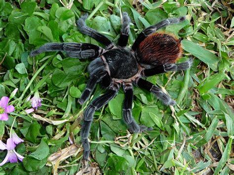 Tarantula B Vagans b angustum care sheet
