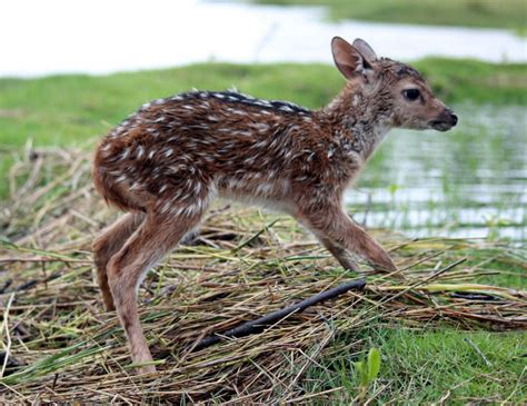 saves baby deer boy risks to save baby deer from drowning grindtv