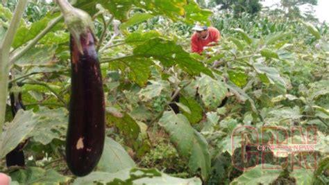 Bibit Terong Ungu Yang Bagus petani kelaten sukses budidayakan terong ungu cendana news