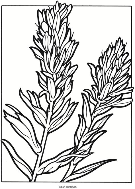 coloring page indian paintbrush welcome to dover publications