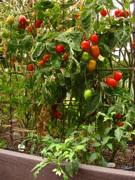backyard tomato garden edible garden profile christy wilhelmi author of