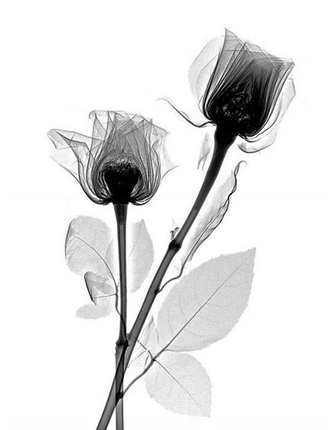 x ray roses