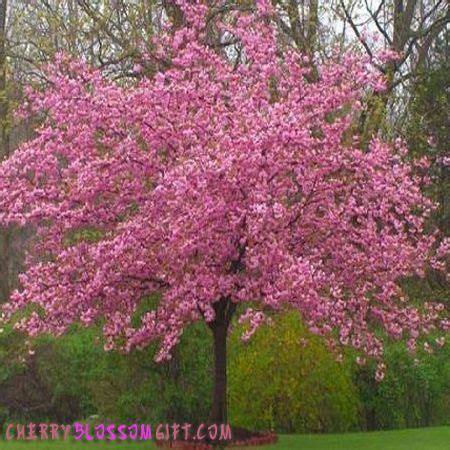 kwanzan cherry tree blooms in april in zone 6 7 front yard landscaping walkway and fencing