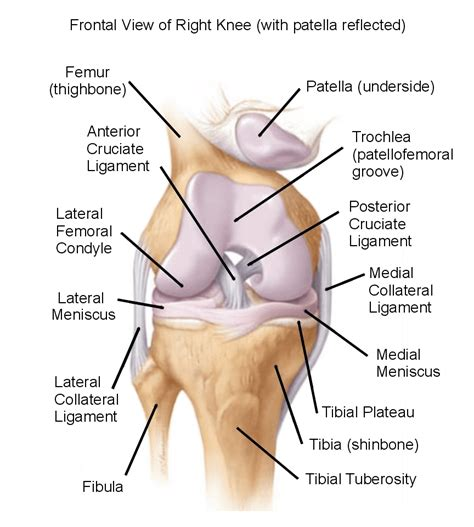 diagram of a knee the knee complex understanding the science both