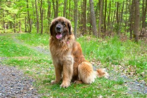 leonberger puppies ohio leonberger the gentle dogs