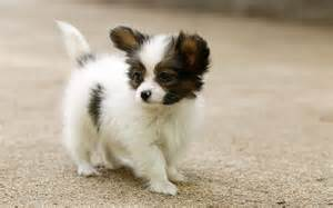 and small puppies small puppy papillon dogs and puppies