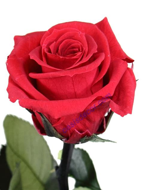 imagenes de rosas blancas naturales imagenes de rosa naturales imagui
