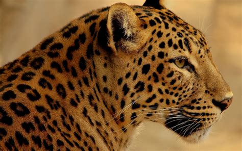 jaguar animal wallpapers jaguar pictures images 1080p