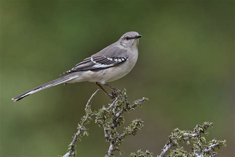 northern mockingbird the texas state bird is about the