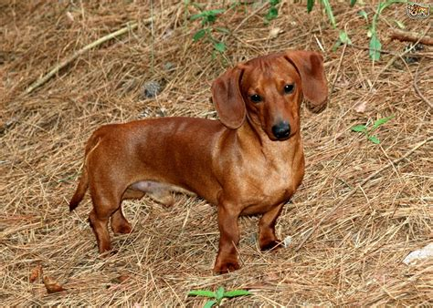 mini dachshund puppy rescue 404 page not found