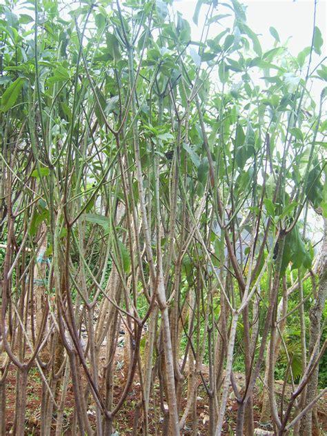 Jual Pohon Bintaro bibit pohon bintaro di purwodadi jual rumput gajah mini
