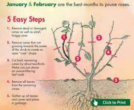 best 25 pruning roses ideas on pinterest prune ideas