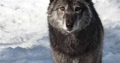 i wolves with a gorgeous majestic