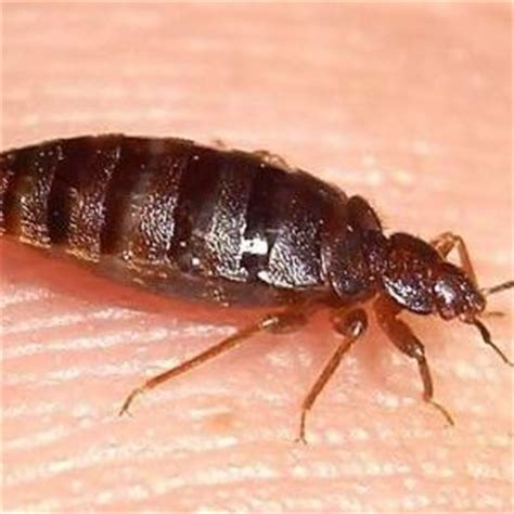 what attracts bed bugs how do u get rid of bed bugs what attracts silverfish