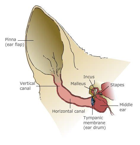 ear infection diagram diagram ear canal choice image how to guide and refrence