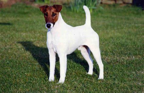 fox terrier puppy smooth fox terrier puppies rescue pictures information temperament