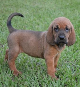 blood hound puppies for sale ckc registered bloodhound puppies louisiana sportsman classifieds la