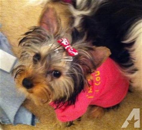 frontline for yorkies akc terrier yorkie puppy for sale in ashburn virginia classified