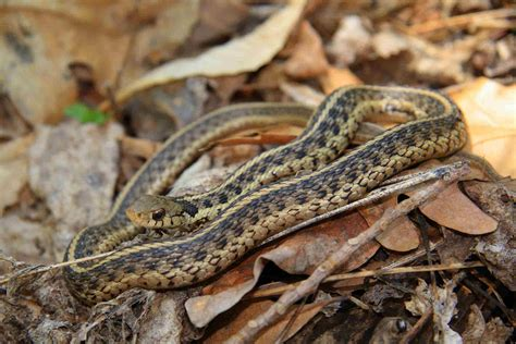 snakes images garter snake hd wallpaper and background