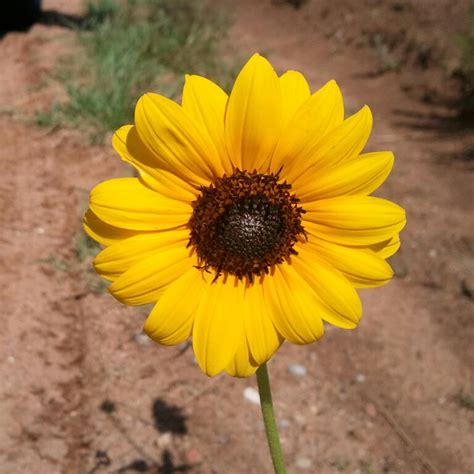 sunflower the kansas state flower kansas my beloved beauty in the ordinary simple life blessings