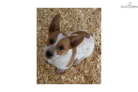 cowboy corgi puppies for sale corgi puppy for sale near fort smith arkansas 11cf2561 a221