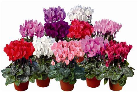 cyclamen color pin color cyclamen plant item no ppc271827 update time