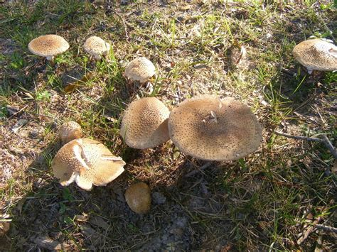 backyard mushrooms identification my backyard pics updated mushroom hunting and
