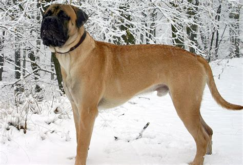large dogs the breeds