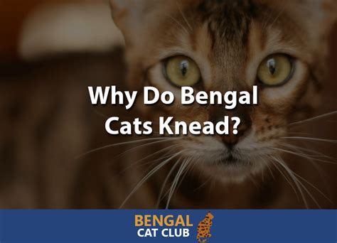 why do bengal cats knead bengal cat club