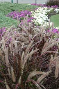 purple fountain grass pennisetum setaceum rubrum in