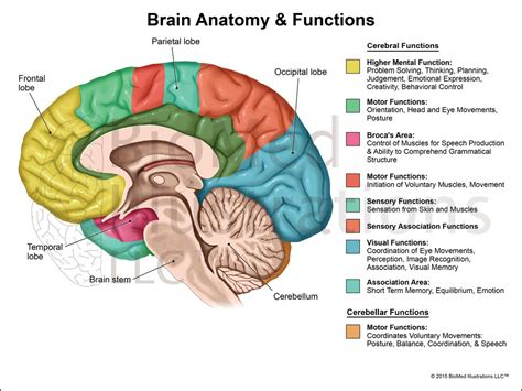 diagram of a brain the brain diagram and functions www pixshark