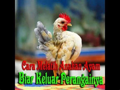 Anakan Ayam Cemani Jakarta ayam serama malaysia pt 4 4 doovi