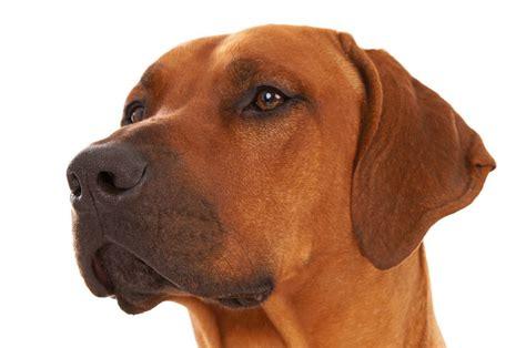 best guard dogs world s best guard breeds