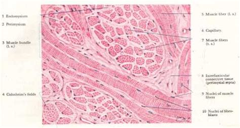 striated cell diagram adopted from atlas of human histology by difiore 3rd