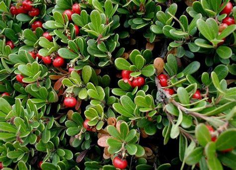 Siepe Con Bacche Rosse by Siepe Sempreverde Siepi Siepe Sempreverde Per Giardino