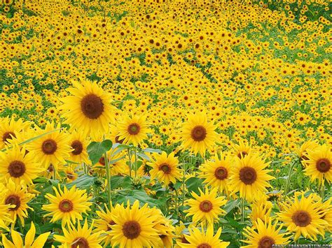 foto wallpaper bunga matahari gambar gambar bunga matahari tercantik koleksi wallpaper