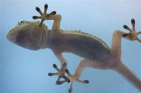 0007179898 the gecko s foot how scientists geckos sticky secret they hang by toe hairs
