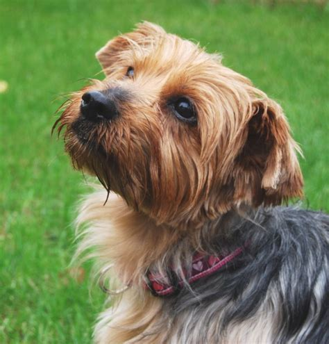 standard yorkie mo 5 year terrier for adoption