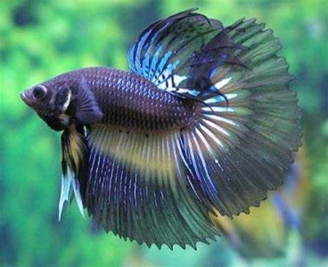koleksi foto dan gambar ikan cupang terbaru kumpulan gambar foto binatang hewan flora fauna