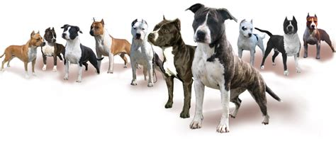 how far apart can puppies be born american staffordshire terrier moon rock kennel