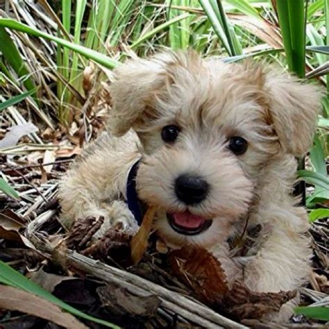 schnauzer mix puppies poodle schnauzer mix dogs pictures breeds picture