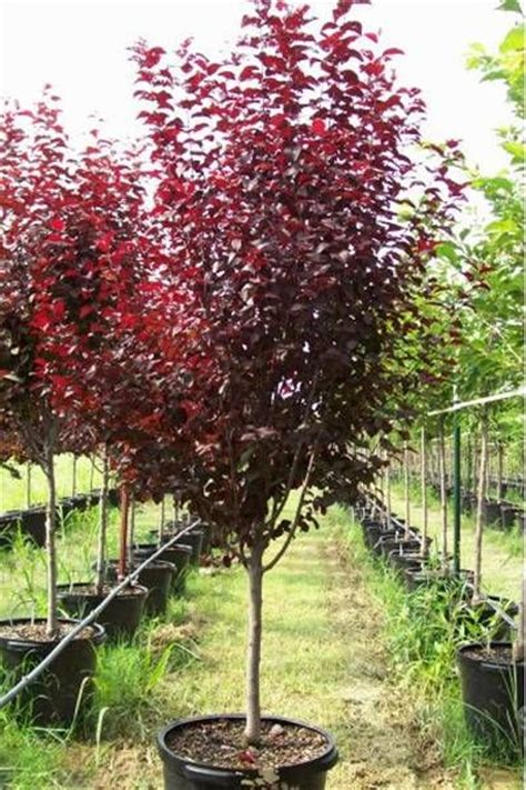 25 best ideas about plum tree on pinterest banks around me garden benches and fruit tree garden