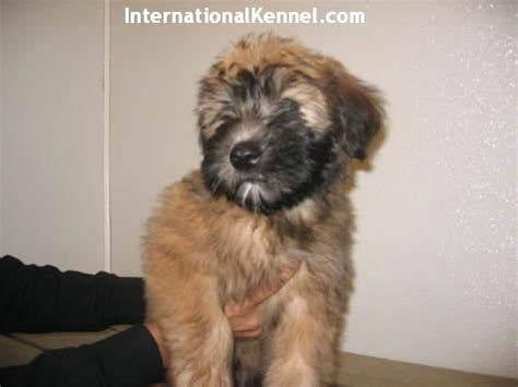 soft coated wheaten terrier puppies for adoption soft coated wheaten terrier puppies for sale for sale adoption from east meadow new