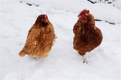 how to prepare backyard chickens for winter farm and dairy