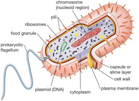 what are diagrams prokaryotic cell diagrams diagram site