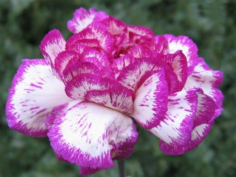 Beautiful Indoor Plants by Carnations