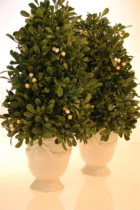 topiary tree care topiary tree small miss maggiesmiss maggies