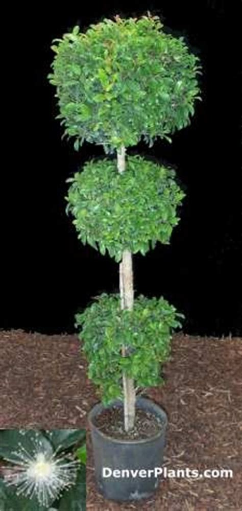 eugenia topiary care 1000 ideas about eugenia topiary on topiaries